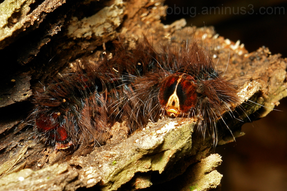 moth Lepidoptera caterpillar larva China Yunnan