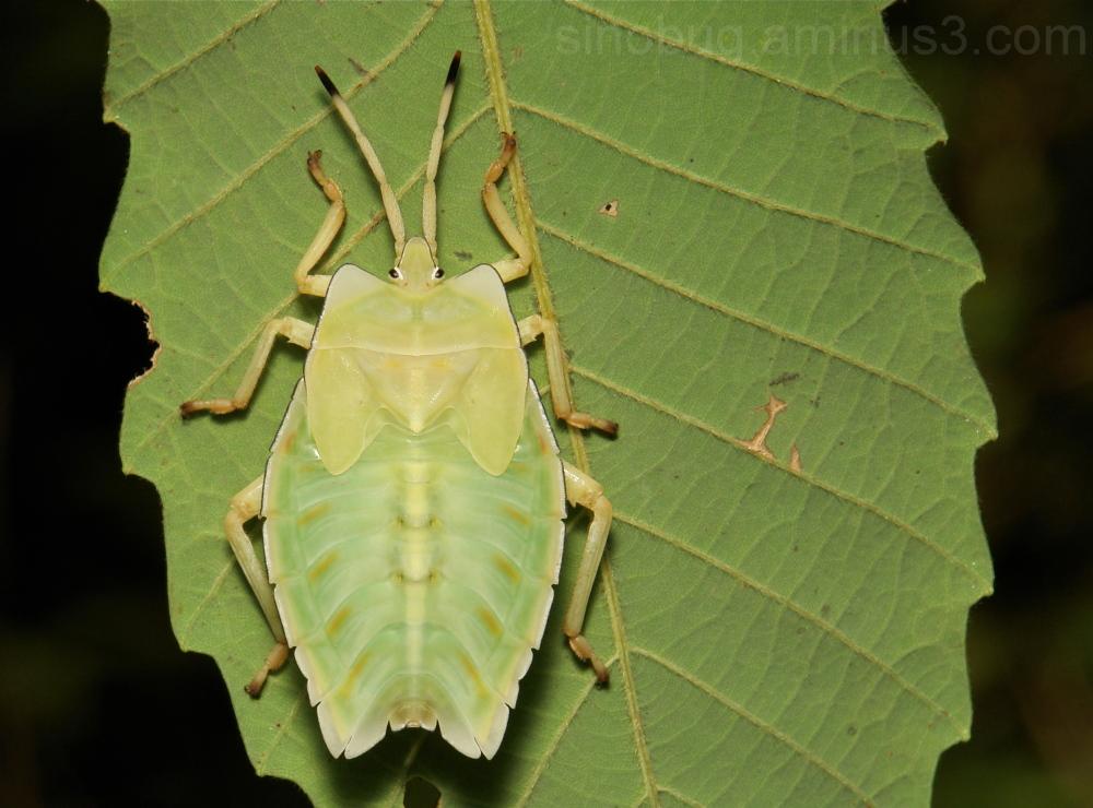 stink China Giant Shield Bug Nymph Tessaratomidae