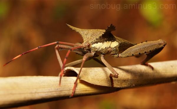 Leaf-Footed Bug Prionolomia gigas Coreidae China