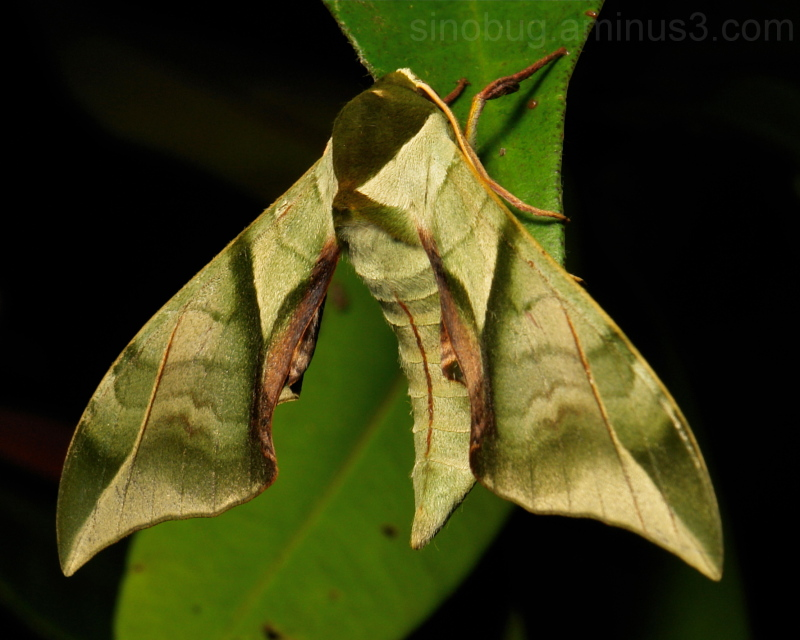 Moth Callambulyx diehli Smerinthinae Sphingidae