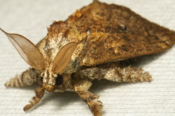 Cup Moth Susica sinensis Limacodidae China