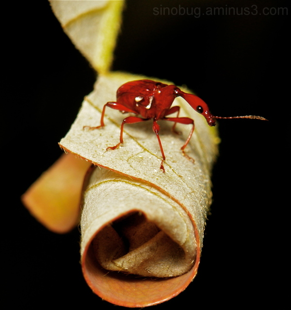 Leaf-rolling Weevil Paratrachelophorus Attelabidae