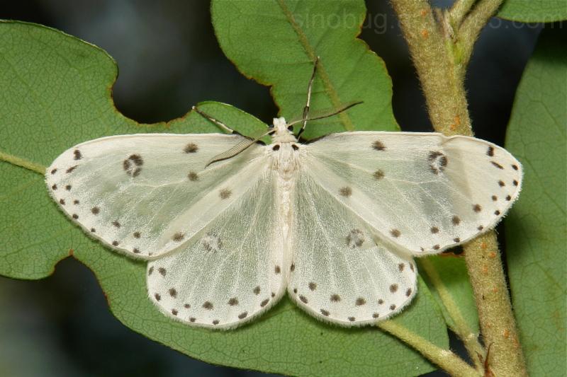 Geometridae Moth Naxa Orthostixinae China