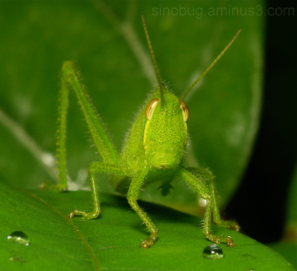 Citrus Locust Nymph (Chondracris rosea, Acrididae)