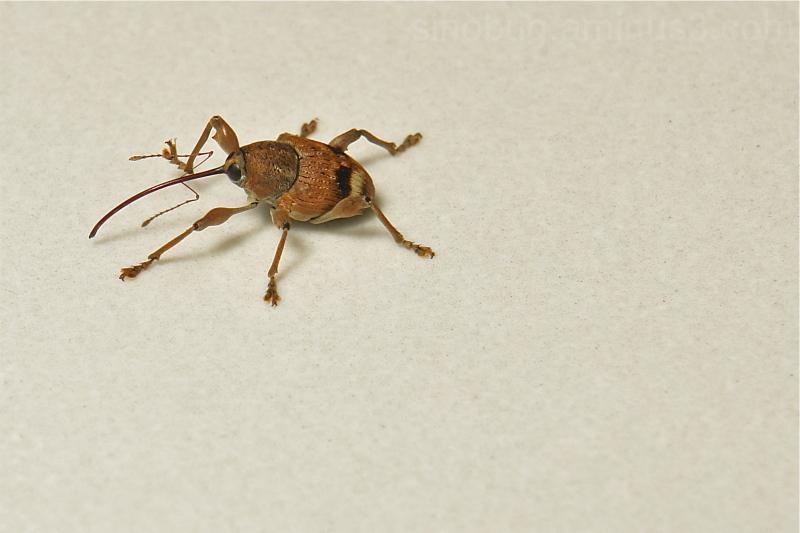 Nut Weevil Curculio Curculionidae Coleoptera