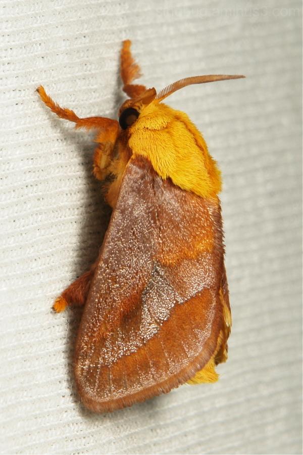 Cup Moth Narosoideus Limacodidae China Yunnan