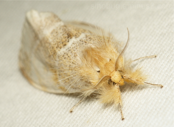 Tussock Moth Pida Lymantriinae Erebidae China
