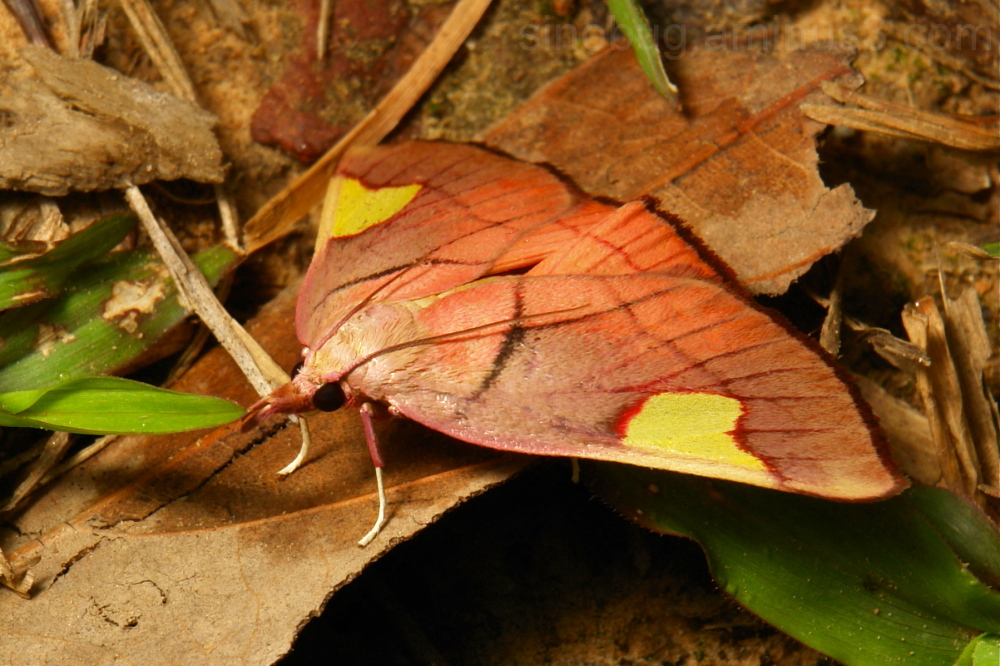Snout Moth Orybina flaviplaga Pyralidae China