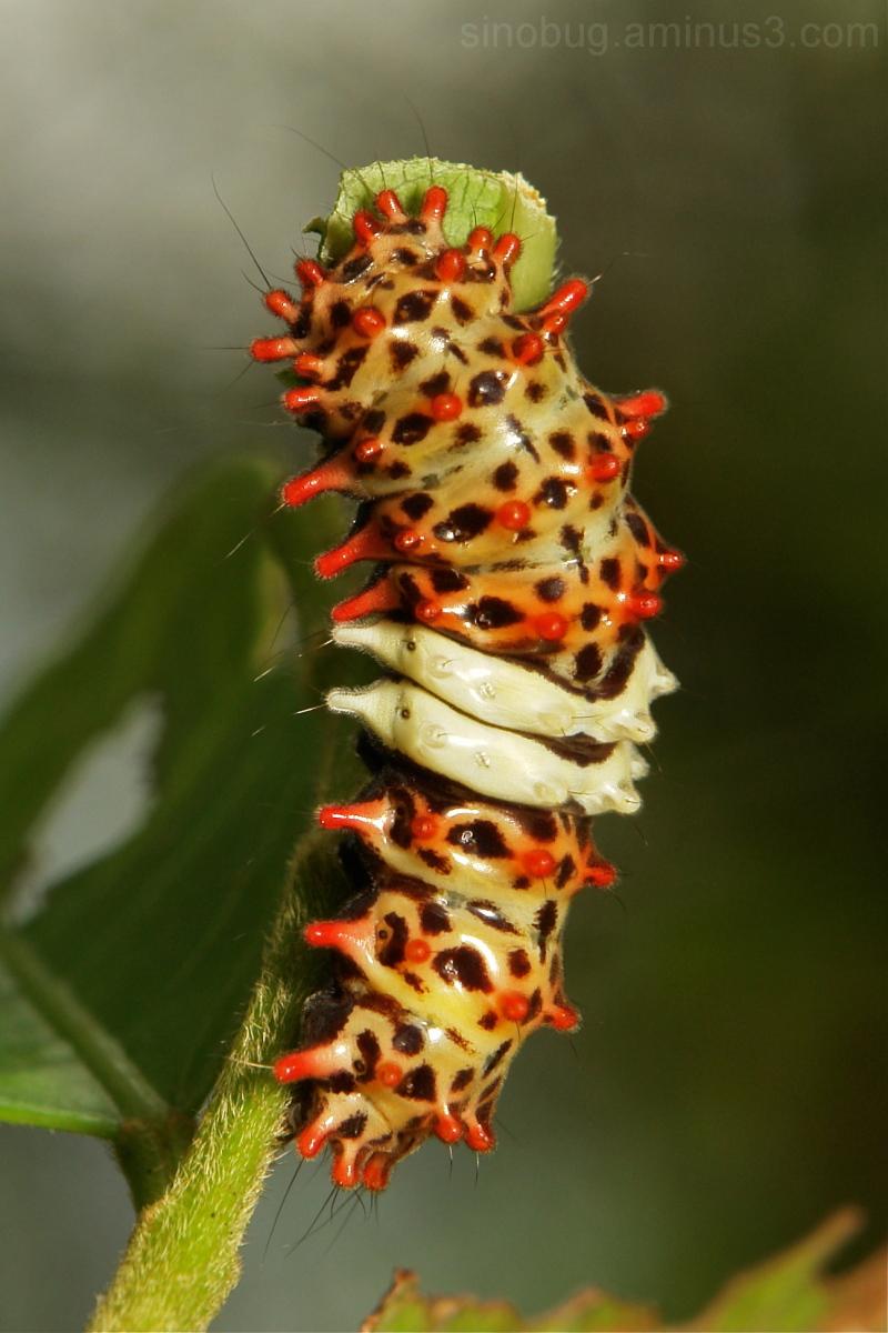 Moth Caterpillar Chalcosiinae Zygaenidae midamia