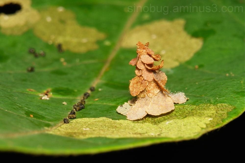 Bagworm Moth Psychidae Larva China Yunnan