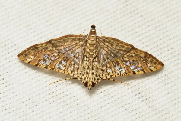Crambid Moth Glyphodes pulverulentalis China