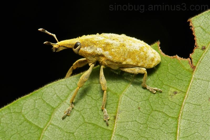 Weevil Curculionidae Coleoptera China Yunnan