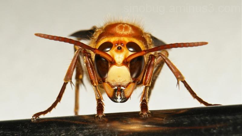 Asian Giant Hornet Vespa mandarinia Vespidae China