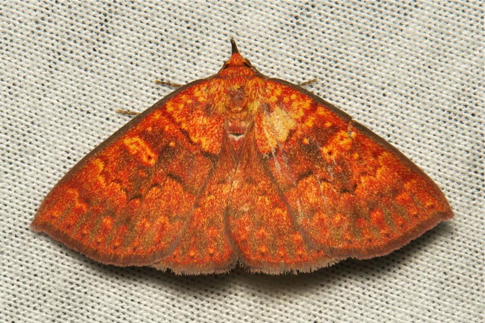Noctuid Moth Singara diversalis Catocalinae China