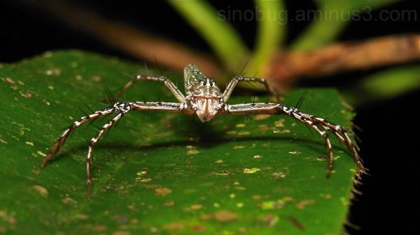 Lynx Spider Hamadruas sikkimensis Oxyopidae China
