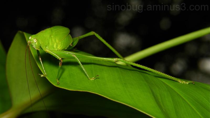 Katydid Bush Cricket Phaneropterinae Tettigonidae