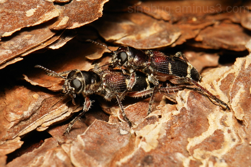 Checkered Beetles Cleridae Coleoptera China Yunnan