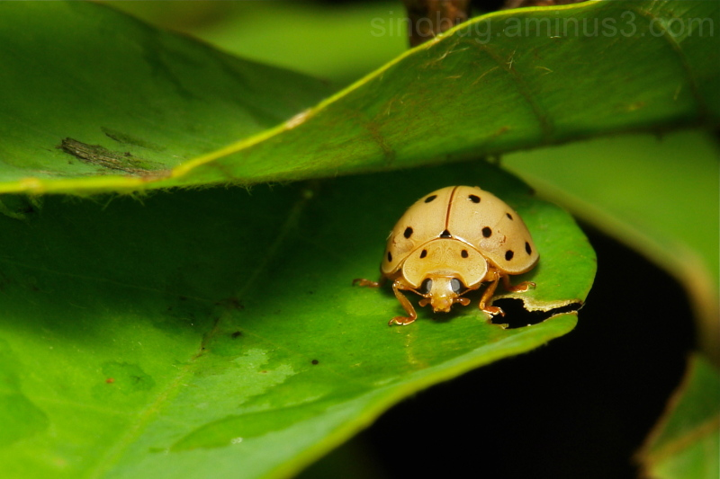 16-Spot Lady Beetle Harmonia sedecimnotata China