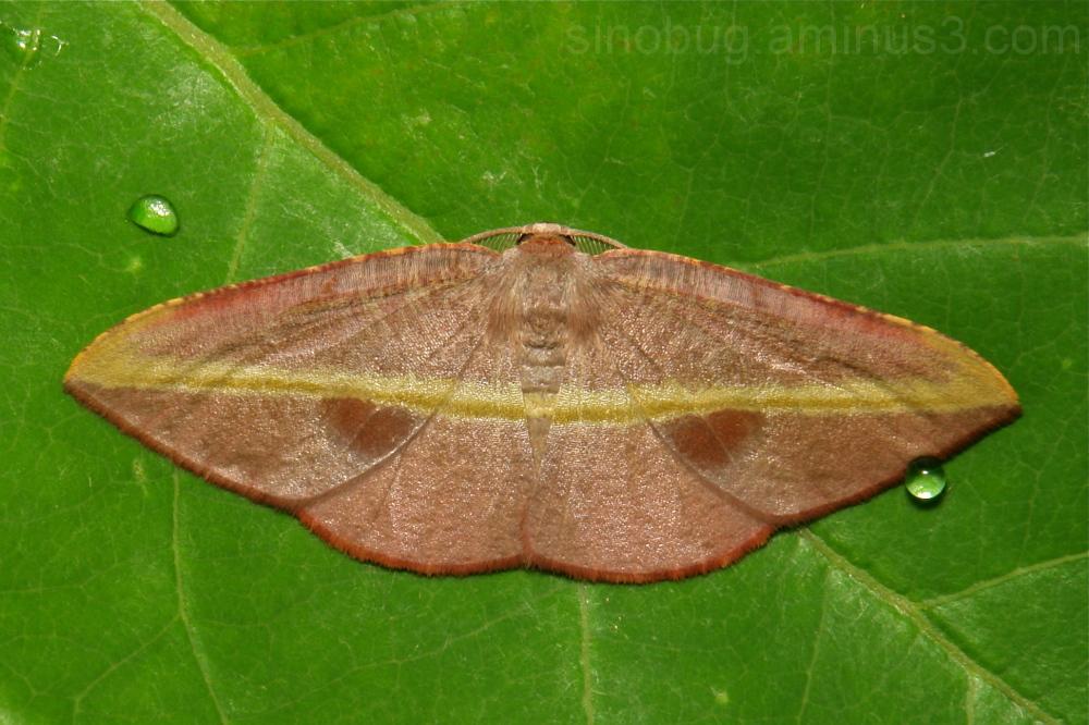 Moth Ennominae Geometridae China Yunnan