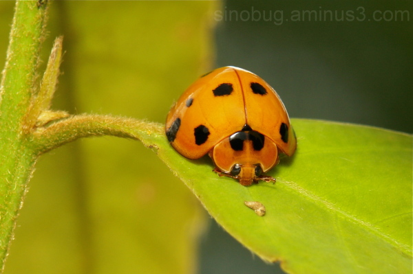 Lady Beetle Coccinellidae China Yunnan