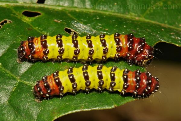 Moth Caterpillar Zygaenidae China Chalcosiinae