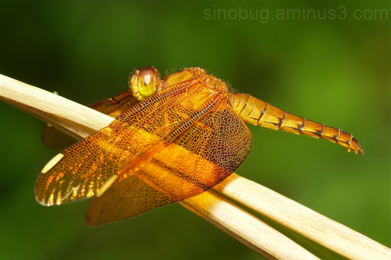 Fulvous Forest Skimmer Neurothemis fulvia