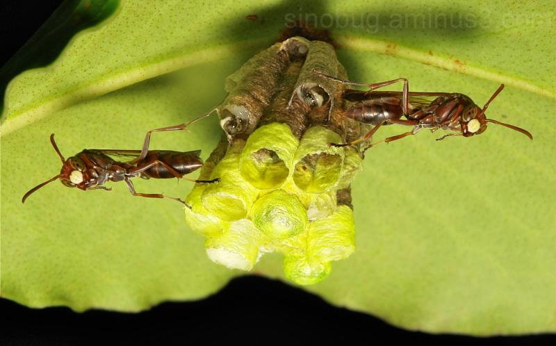 Paper Wasp Polistes Vespidae China Yunnan