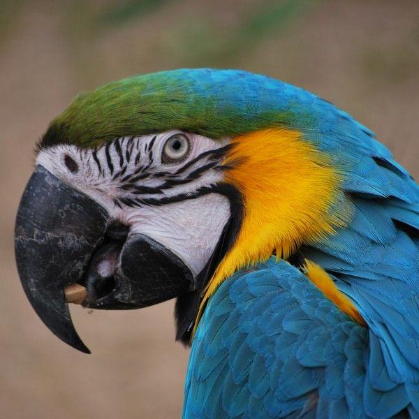 A...parrot.