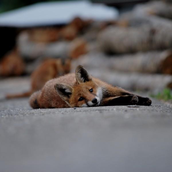 """""""Rusé comme un renard"""""""