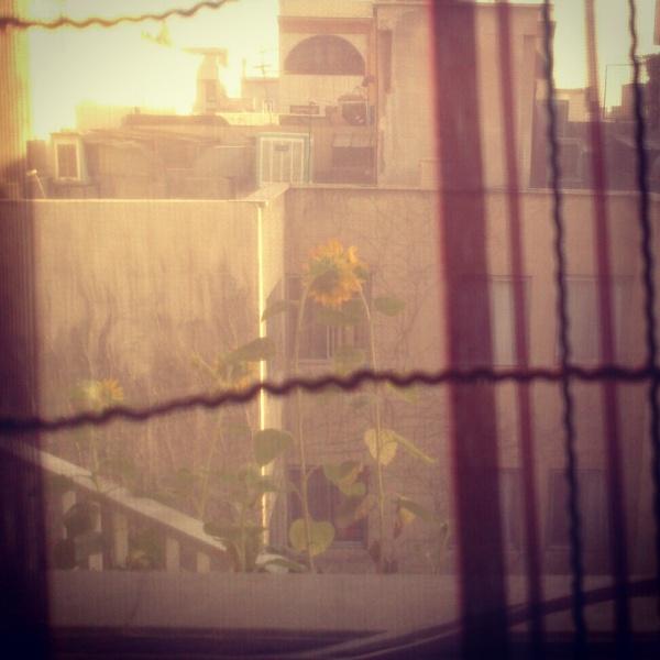 گل آفتابگردون هر روز به انتظار دیدن یاره