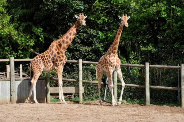 Coucou les girafes