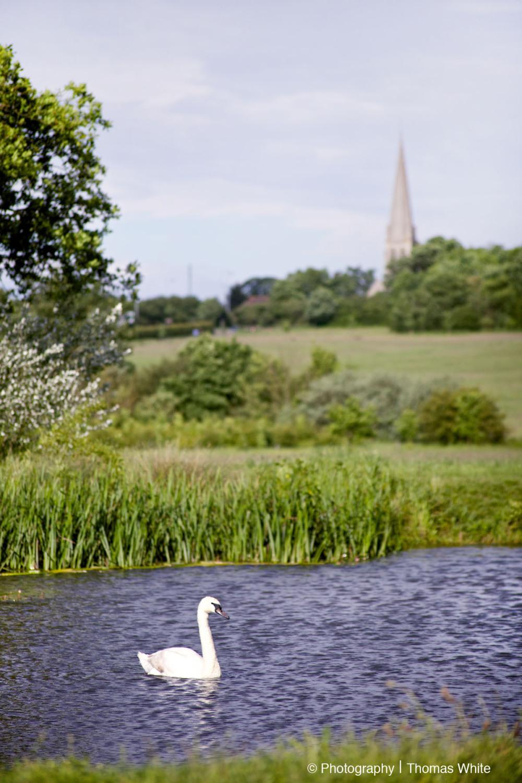 Swan at Hylands
