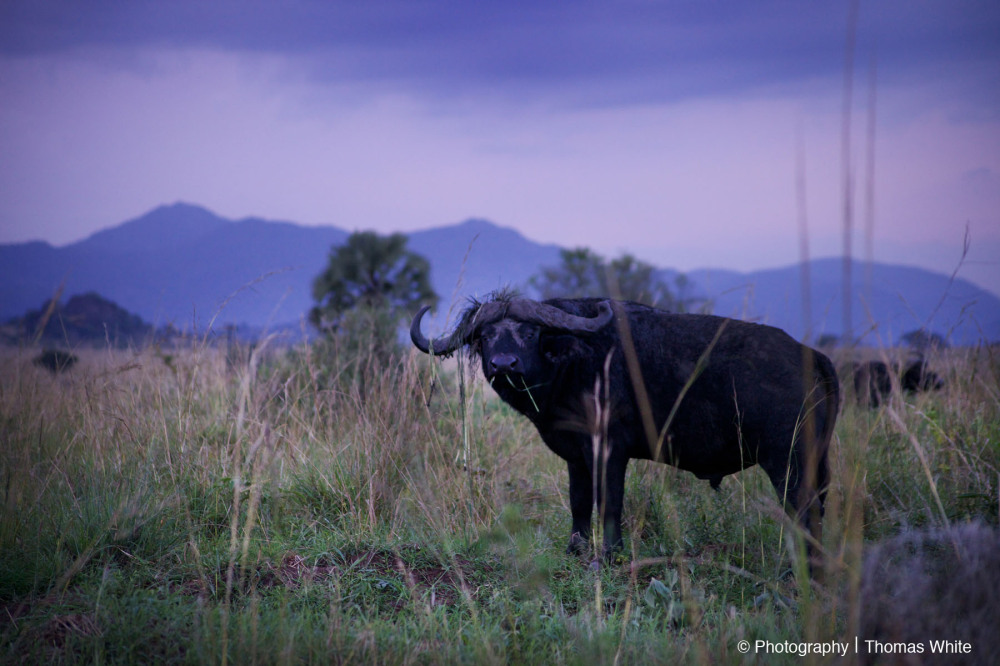Buffalo at Dusk