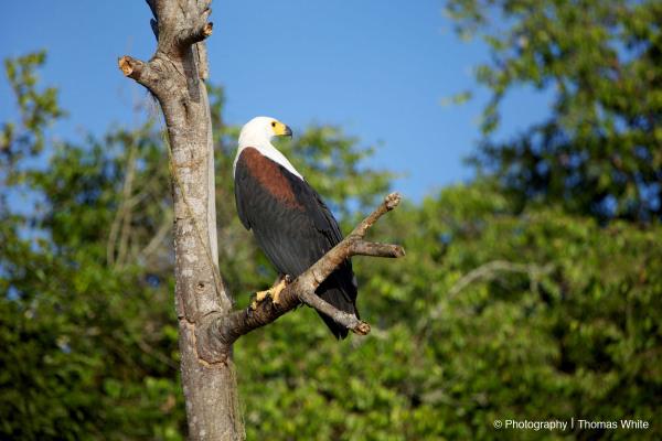 Fish Eagle II