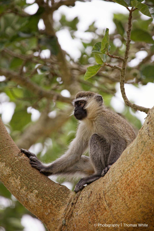 Ishasha VIII - Vervet Monkey
