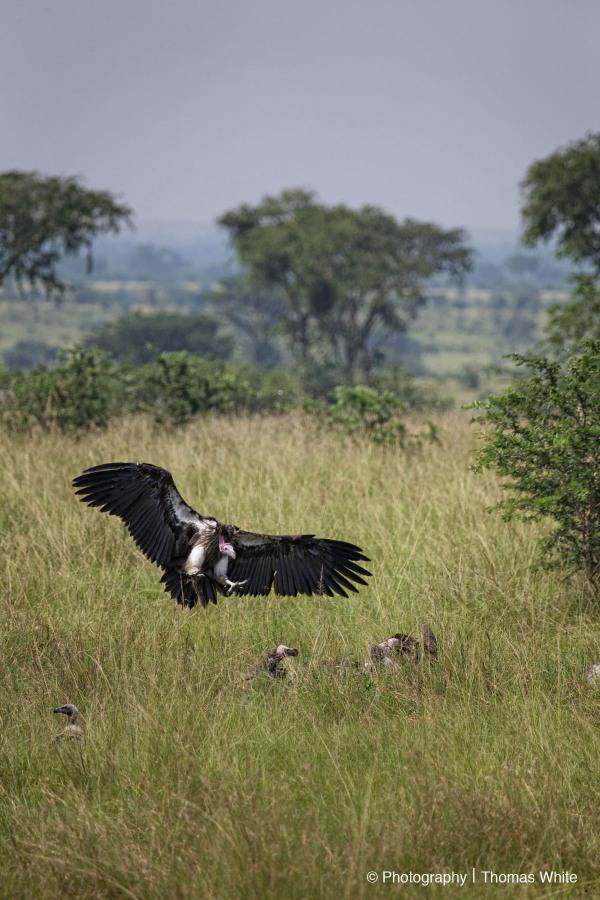 Ishasha X - Vulture