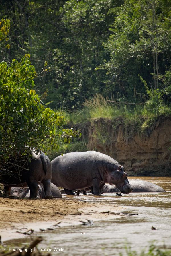 Ishasha XI - Hippo