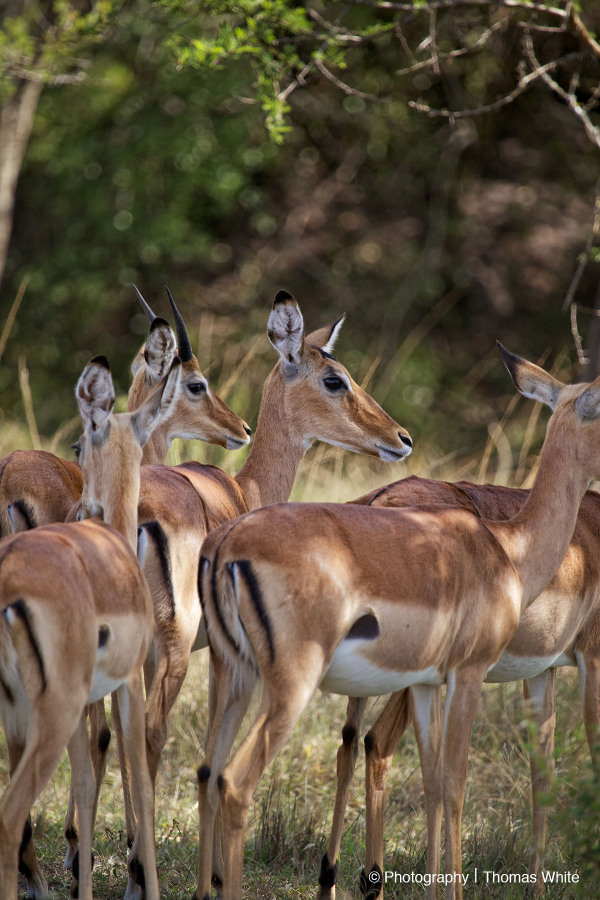 Impala, Lake Mburu NP