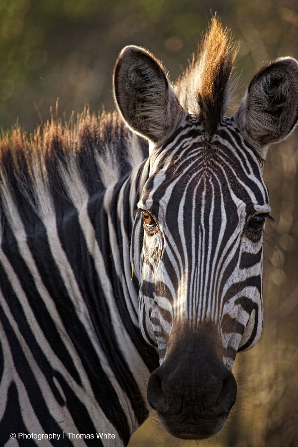 Zebra, Lake Mburo NP