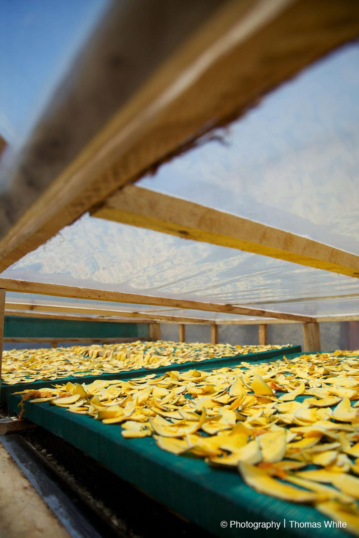 Drying Papaya