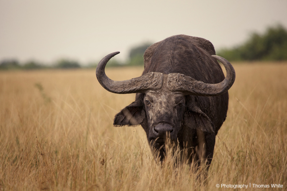 Queen Elizabeth National Park IV - Buffalo