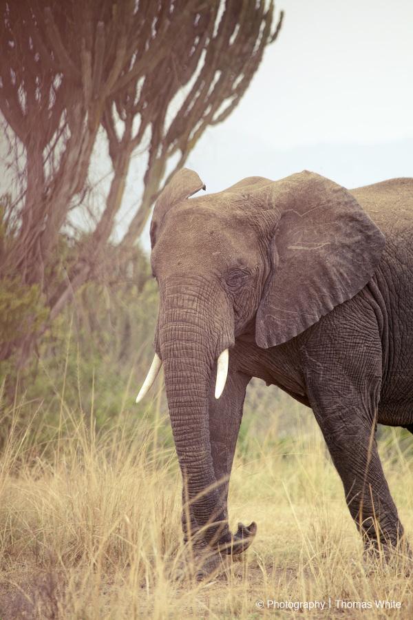 Queen Elizabeth National Park VI - Elephant