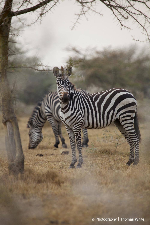 Lake Mburo NP II - Zebra