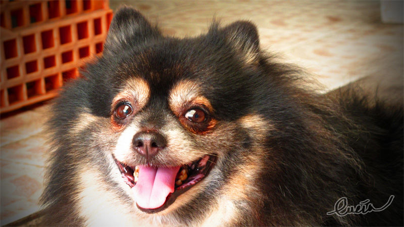 cute pomeranian smile