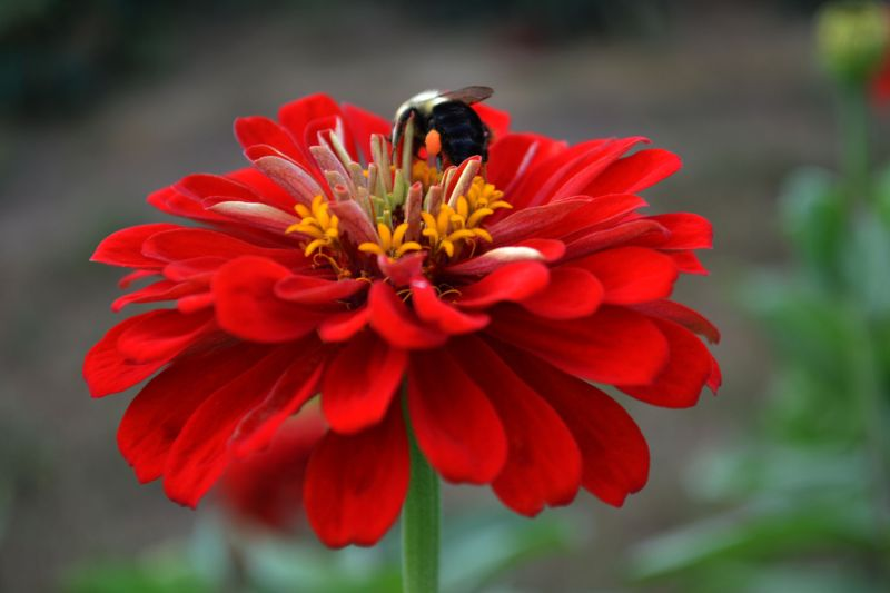 Red Flower and a Bee