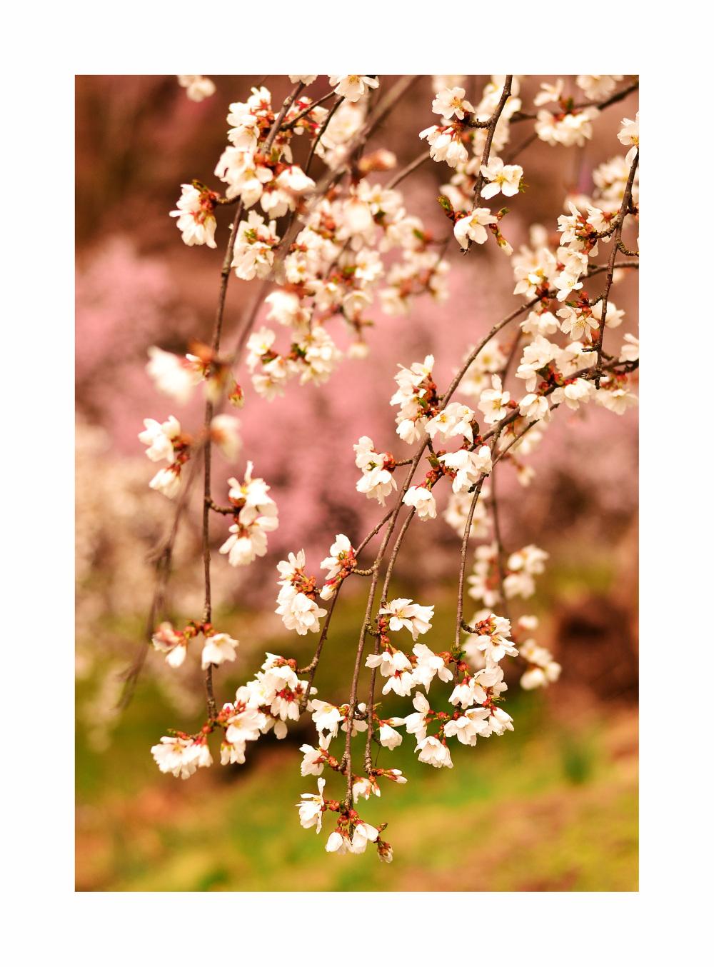 Cherry Blossom - 3