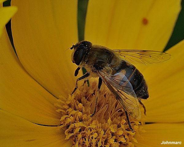 Autre abeille butinant !!