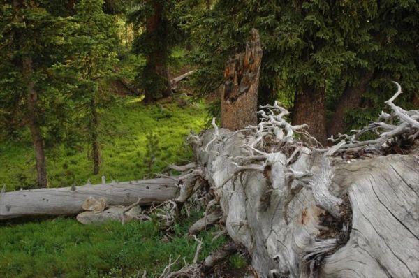 pine snag forest