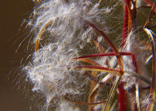 weeds seeds