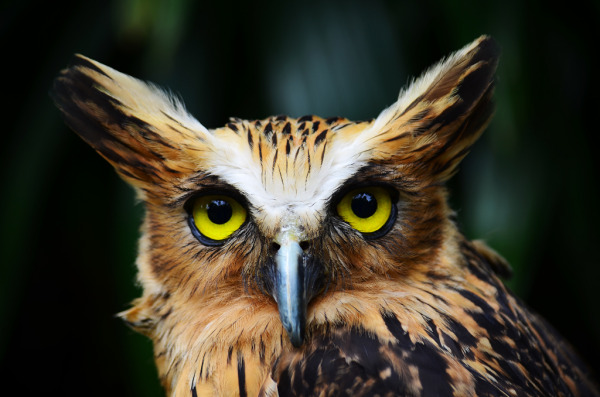 Buffy Fish-Owl (Ketupa Ketupu)